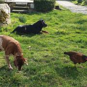 chiens et poules de la ferme de la millanchère