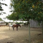 Alle Pferde leben in artgerechter Offenstallhaltung