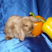 питомник Весна Тула,карликовые кролики питомник, окрас кролика, кормление кролика
