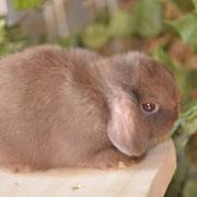 купить кролика барана в Туле