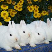 карликовый кролик гермелин Весна