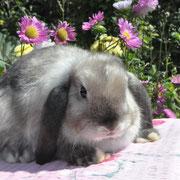 Карликовый кролик окрас коричневый салландер белоостевой