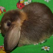 гавана оттер кролик