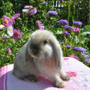 Кролики карликовые купить