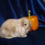 Карликовый кролик купить в Туле , питомник Весна Тула
