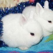 гермелин порода кроликов,питомник Весна