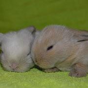 купить карликового кролика москва