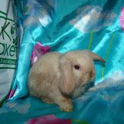 купить декоративного кролика Тула Москва