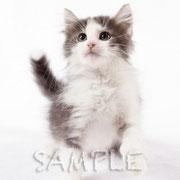 【100907_2082】猫/室内スタジオ/ノルウェイジャンフォレストキャット