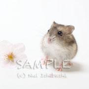 100417_0519/ジャンガリアンハムスター ©Nui Ishibashi