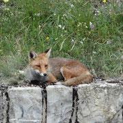 02.08.2014 Dieser Fuchs hat gemütlich am Strassenrad geschlafen...