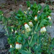 Grosse Wachsblume (Cerinthe major)