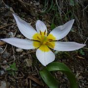 Kretische Tulpe Tulipa cretica (Kreta Endemit)