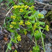 Alpenrachen=Tozzie (Tozzia alpina)