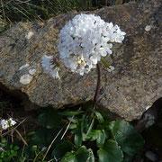 Haselwurzblättriger Baldrian (Valeriana asarifolia)