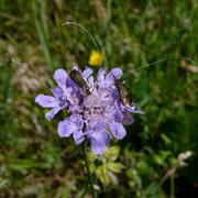 Feld-Witwenblume (Knautia arvensis)