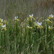 Orientalische Schwertlilie (Iris orientalis)