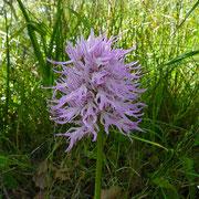 Italienisches Knabenkraut (Orchis italica)