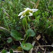 Moosauge = Einblütiges Wintergrün (Moneses uniflora = Pyrola uniflora)