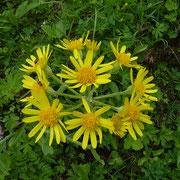 Gaudin's Kreuzkraut (Tephroseris tenuifolia)