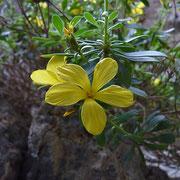 Kretischer Strauchlein (Linum arboreum)