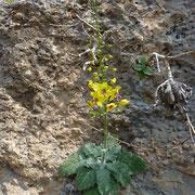 Bärenschwanz-Königskerze (Verbascum arcturus) auf Kreta endemisch