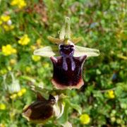 Ophrys mammosa (Busen Ragwurz)