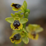 Gelbe Ragwurz (Ophrys lutea)