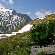 Getüpfelter Enzian (Gentiana punctata)