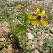 Kreta Adonisröschen (Adonis cretica) auf Kreta endemisch