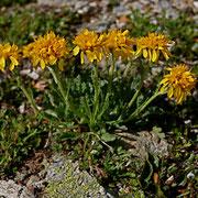 Krainer Greiskraut (Senecio incanus ssp. carniolicus)