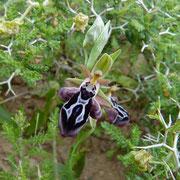 Ariadne-Ragwurz (Ophrys ariadnae)
