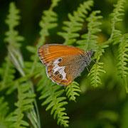 Perlgrasfalter=Weißbindiges Wiesenvögelchen (Coenonympha arcania)