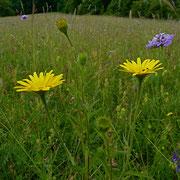 Weidenblättriges Rindsauge (Buphthalmum salicifolium)