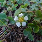 Erdbeer-Fingerkraut (Potentilla sterilis)