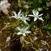Narbonne-Milchstern (Ornithogalum narbonense)