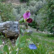 Erbse (Pisum sativum)