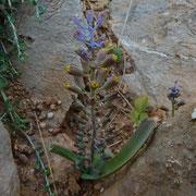 Kreta Traubenhyazinthe (Muscari spreitzenhoferi) auf Kreta endemisch