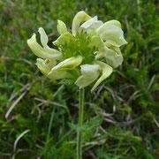 Knolliges Läusekraut (Pedicularis tuberosa)