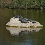 Westkaspische Wasserschildkröte (Bachschildkröte) (Mauremys caspica rivulata)