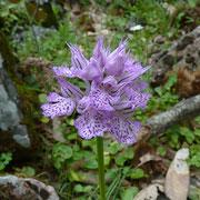 Milchweisses Knabenkraut (Orchis lactea)