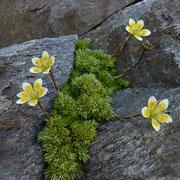 Moosartiger Steinbrech (Saxifraga bryoides) Parpaner Rothorn