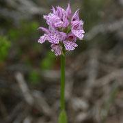 Dreizähnige Knabenkraut (Orchis tridentata)