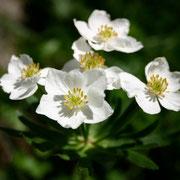 Narzissenblütige Anemone (Anemone narcissifolia)