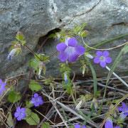 Felsenblumenblättrige Glockenblume (Campanula drabifolia)