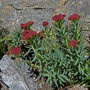 Rosenwurz (Rhodiola rosea=Sedum rosea)