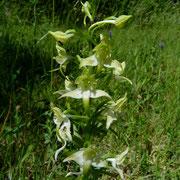 Grünliches Breitkölbchen=Grünliche Waldhyazinthe (Platanthera chlorantha)