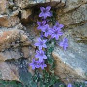 Glockenblume (Campanula topaliana)