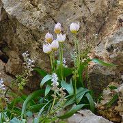 Felsen-Tulpe (Tulipa saxatilis)