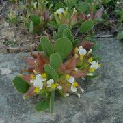 Blasen-Wundklee Anthyllis tetraphylla